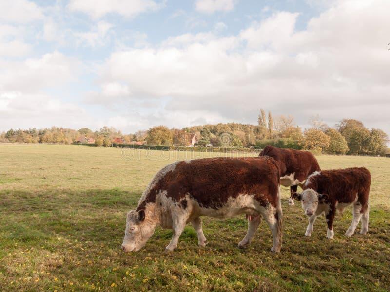 Brown i biały krowy pasanie na zielonym paśnika polu uprawiamy ziemię nabiał zdjęcia stock