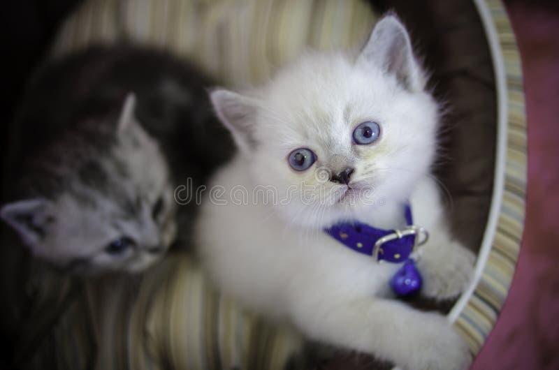 Brown i biały tabby kocimy się obsiadanie w kota łóżku i patrzeć w kierunku kamery fotografia royalty free