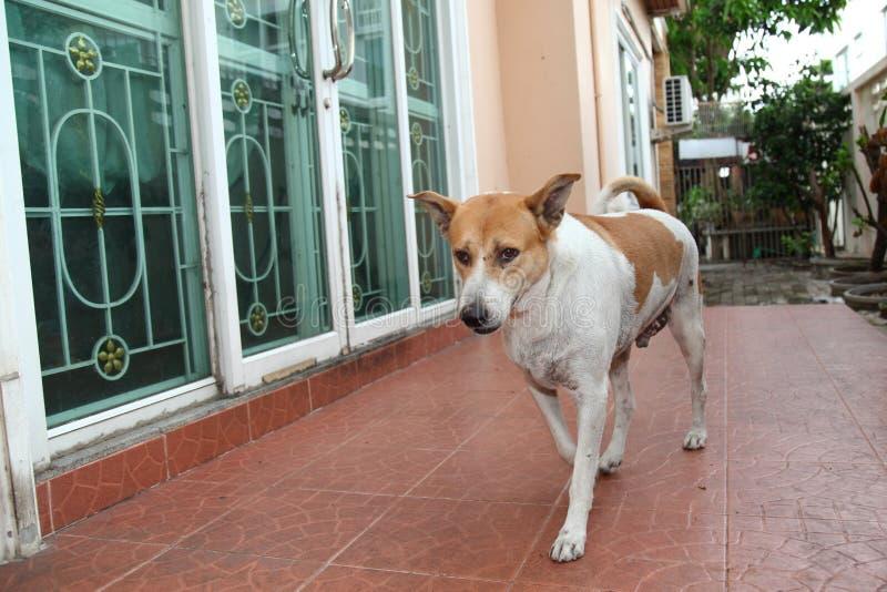 Brown i biały Tajlandzki psi spacer w strona domu fotografia royalty free
