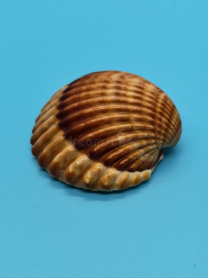 Brown i biali seashells zdjęcia stock
