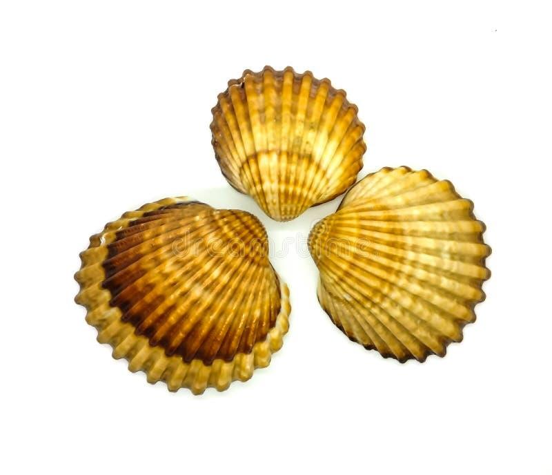 Brown i biali seashells w składzie zdjęcie stock