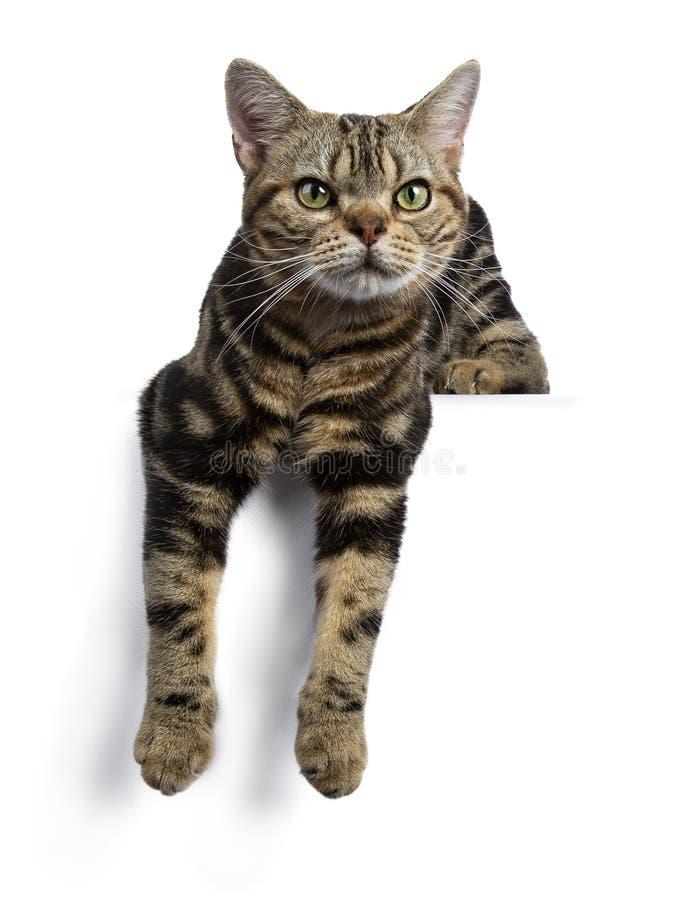 Brown i czarna tabby amerykanina Shorthair kota figlarka kłaść w dół z łapami wiesza nad krawędzią odizolowywającą na białym tle  obrazy stock
