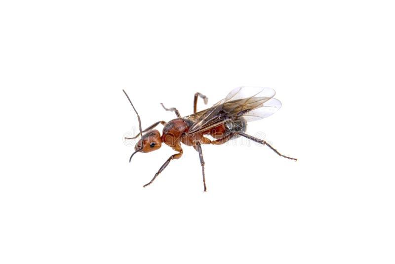 Brown insekt na białym tle zdjęcie stock