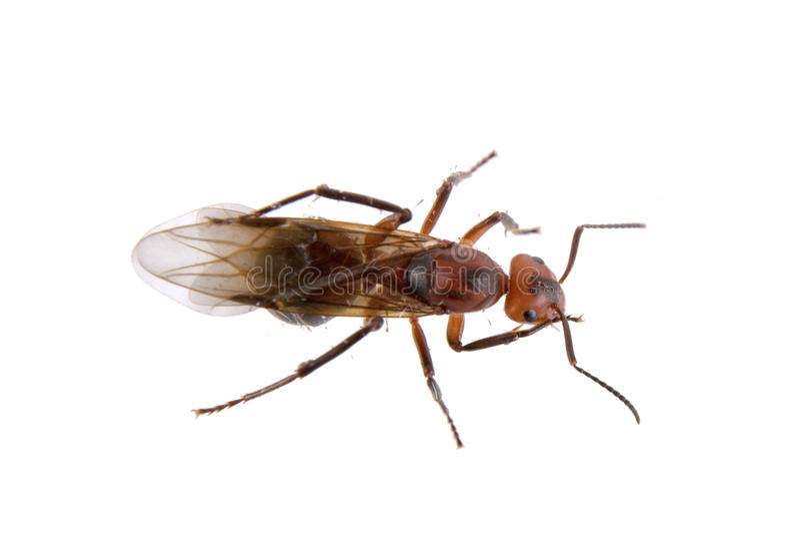 Brown insekt na białym tle obraz stock