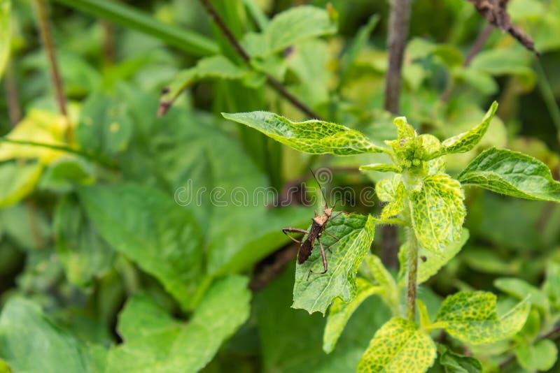 Brown insekty Na zielonych liściach obraz stock