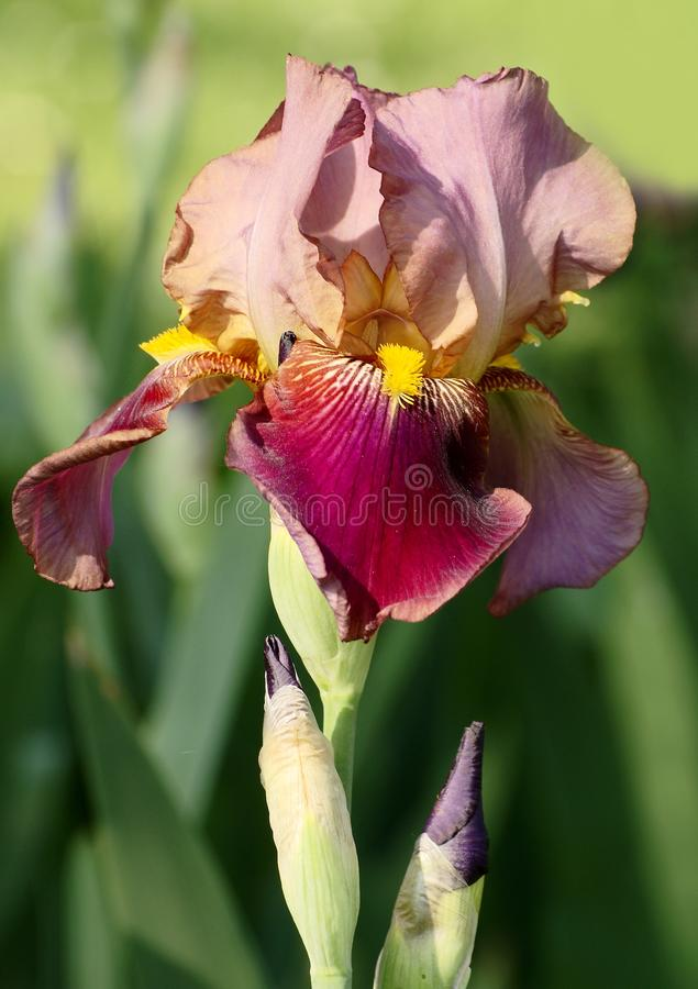 Brown iris. Bloom of brown iris with burgeons and green ground stock image