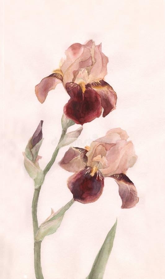 Brown irisa la pintura del watrcolor stock de ilustración