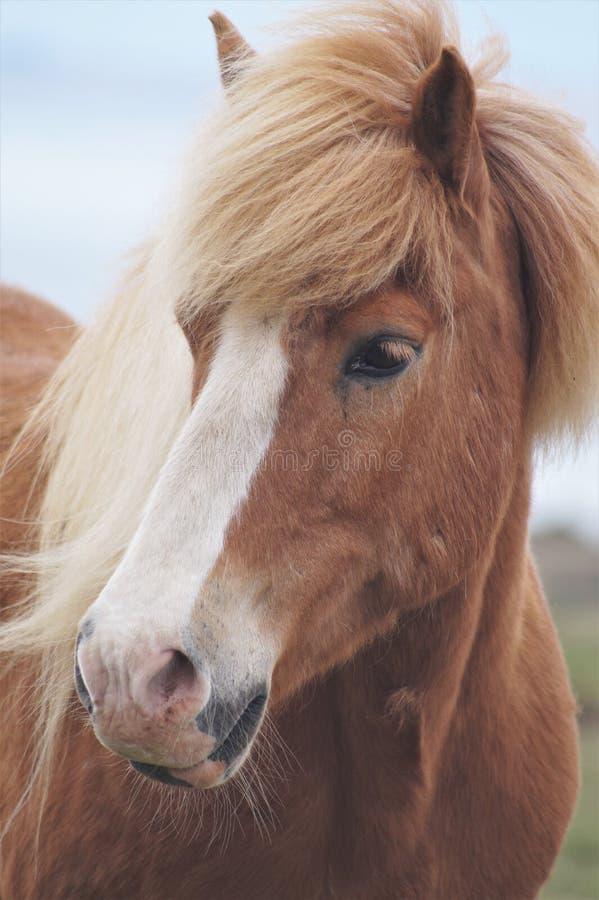 Brown-Isländerpferd stockbild