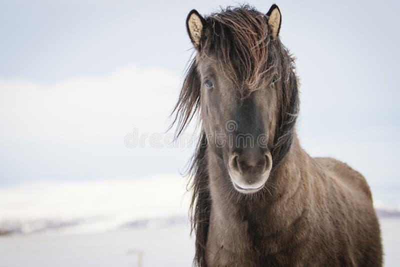 Brown Islandzki koń w śniegu obraz stock