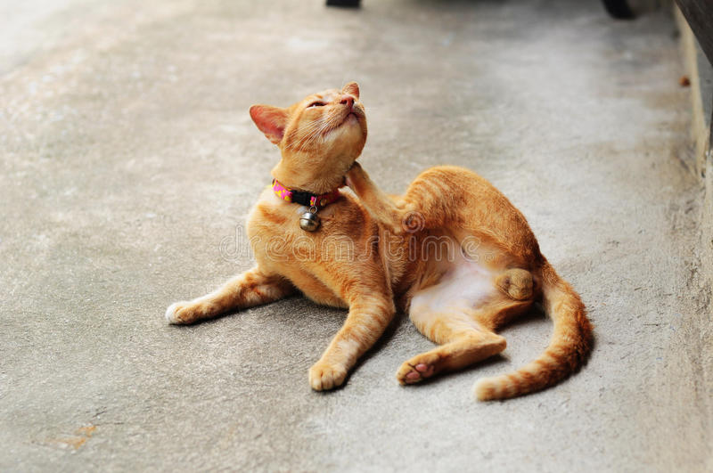 Brown itchy cat royalty free stock photo