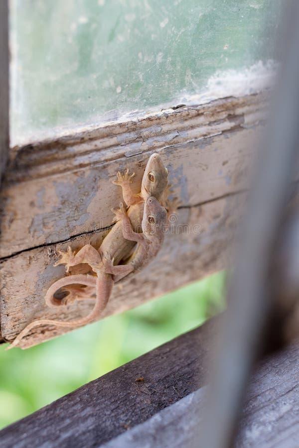 Brown jaszczurki lub domowi gekony obrazy royalty free