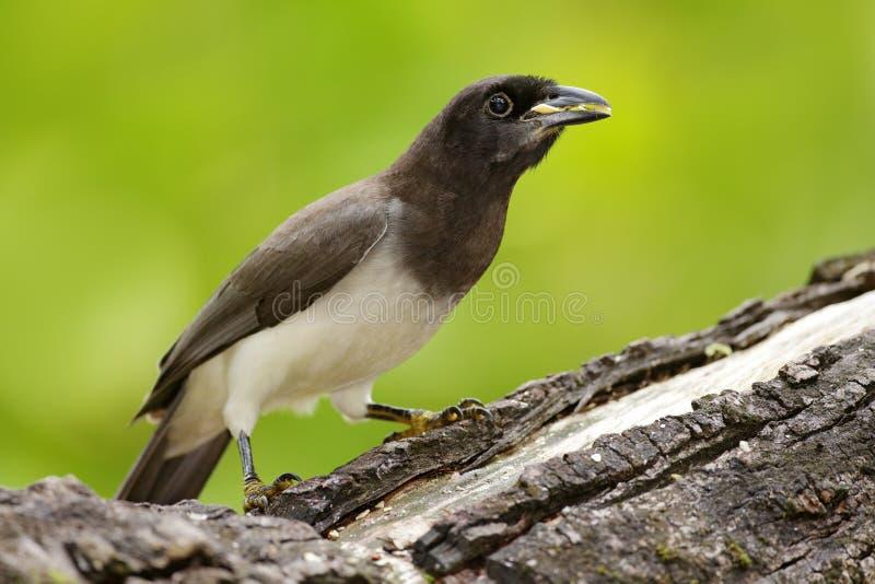 Brown Jay, Cyanocorax morio, ptak od zielonego Costa Rica lasu w drzewnym siedlisku, Szczegół zwrotnika ptak Duzi drzewko palmowe obrazy stock