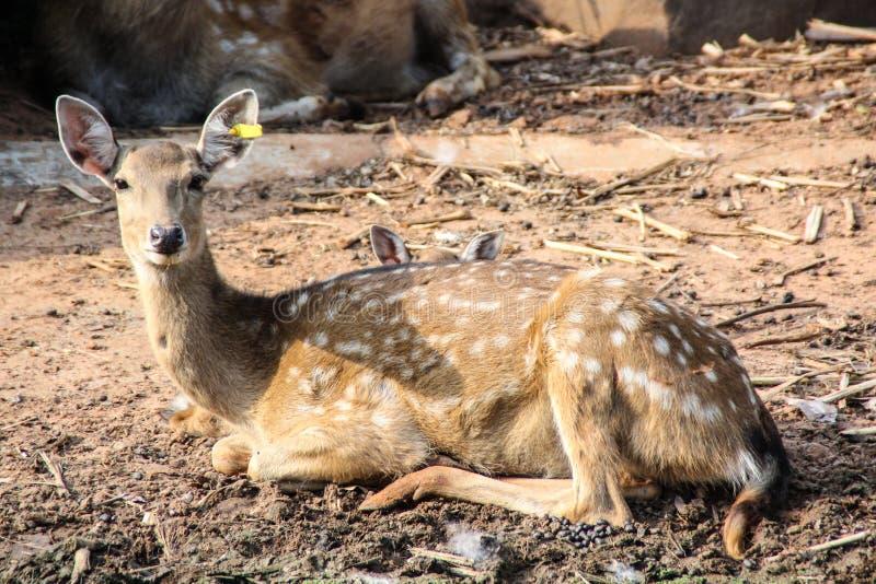 Brown jeleni obsiadanie na podłoga przy chokchai gospodarstwem rolnym obrazy royalty free