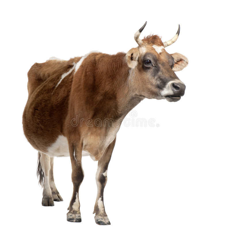 Brown Jersey cow (10 years old). In front of a white background stock photo