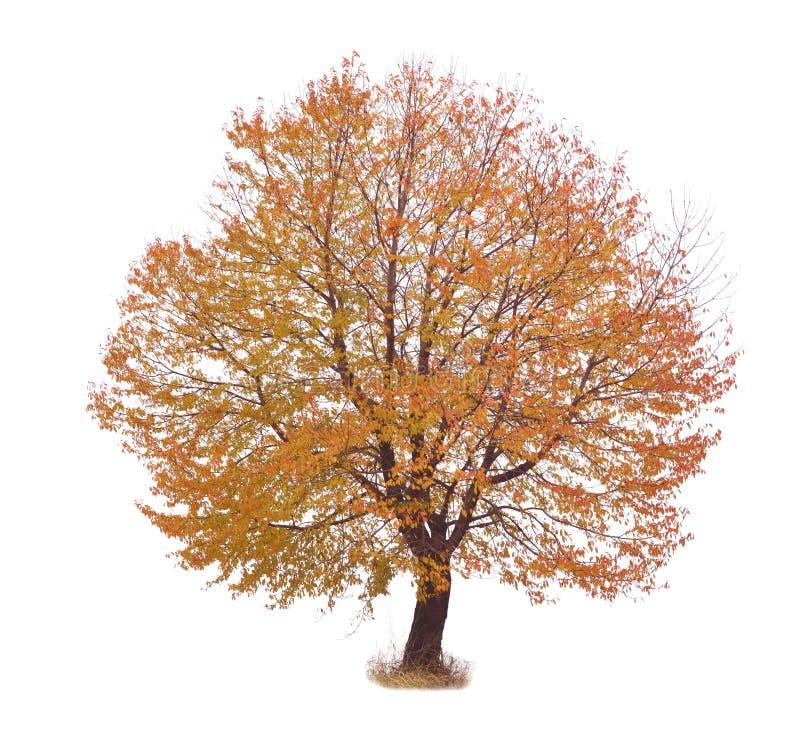Brown jesieni drzewo obrazy royalty free