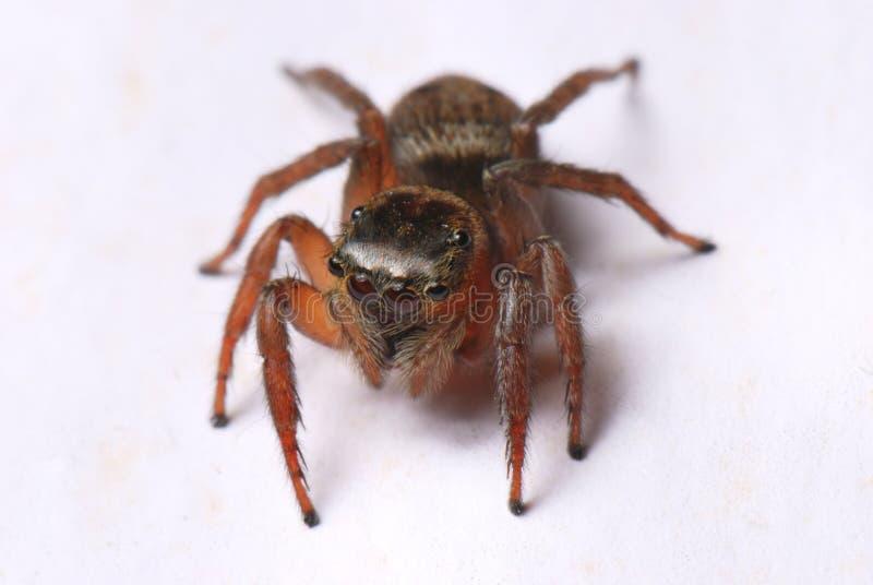 Brown Jumper Spider fotografia stock libera da diritti