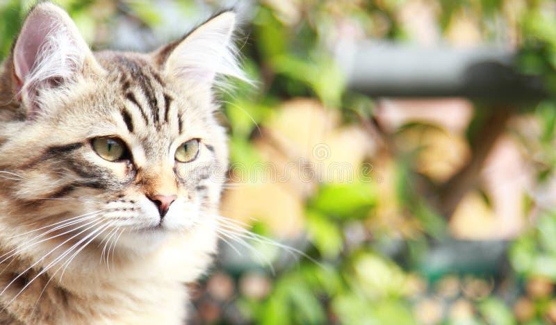 Brown-Kätzchen der Katze, sibirische Zucht lizenzfreie stockfotografie