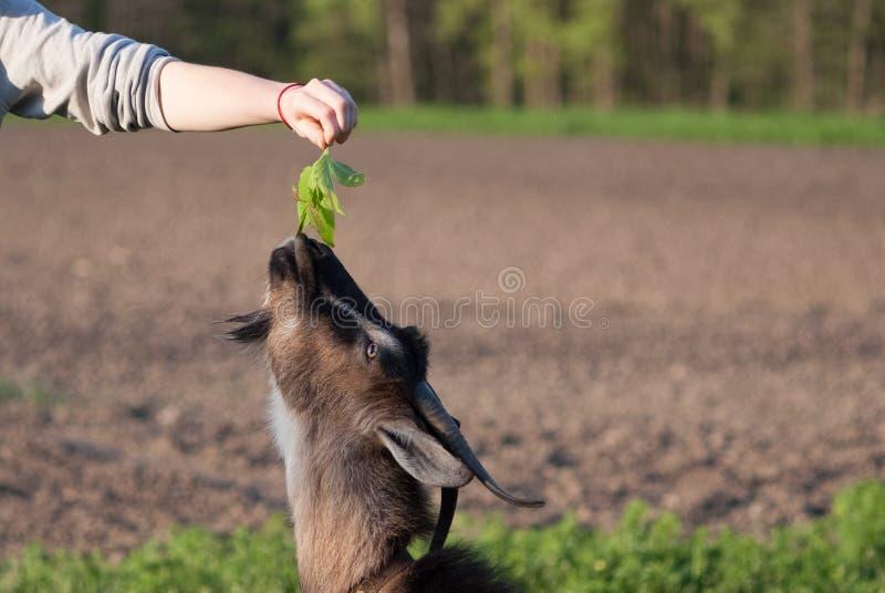 Brown kózki jedzą trawy od ręk dziewczyna na lato słonecznym dniu zdjęcie stock