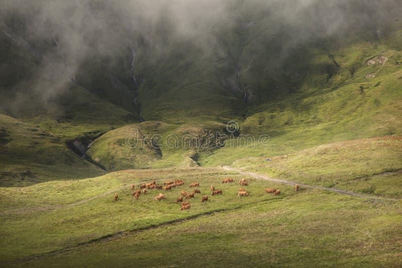 Brown-Kühe, die in der schönen Berglandschaft weiden lassen stockbilder