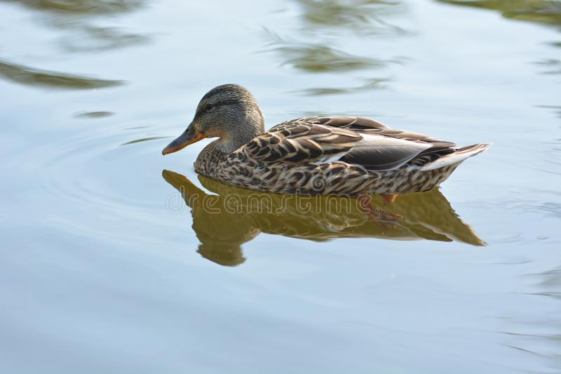 Brown kaczki dopłynięcie fotografia royalty free
