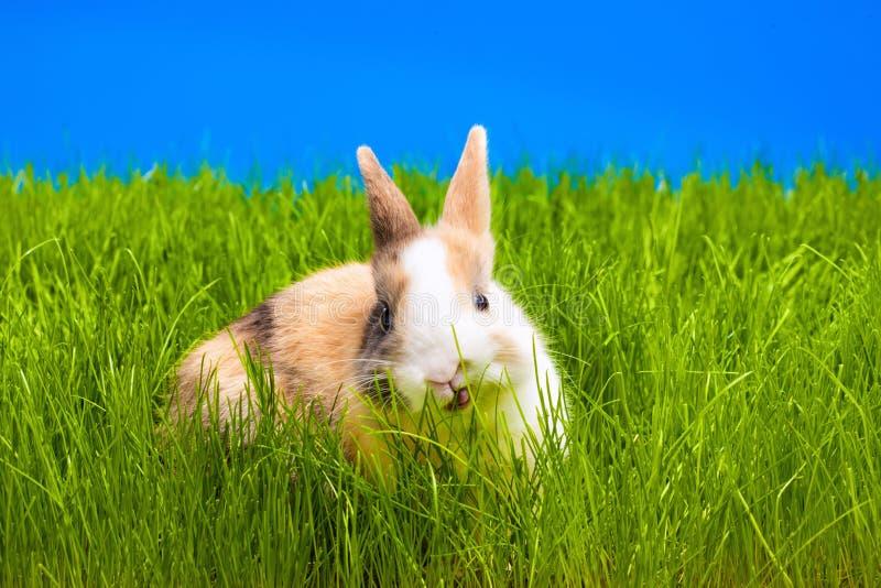 Brown-Kaninchen, das Gras isst stockfotografie