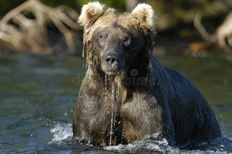 brown kapiąca woda niedźwiedzi river fotografia stock