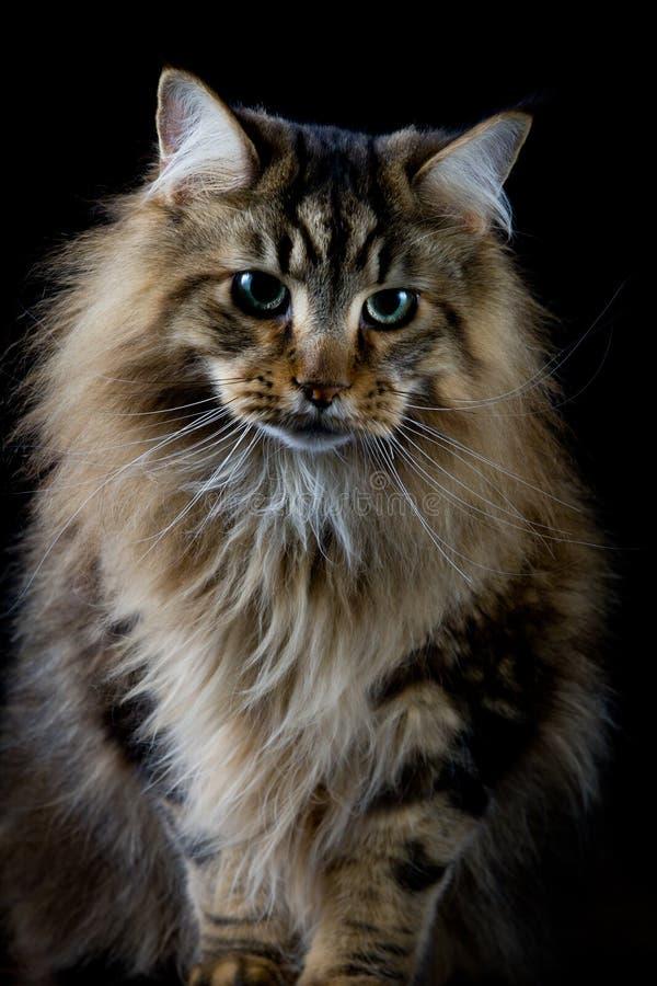 Brown-Katze auf schwarzem Hintergrund stockbild