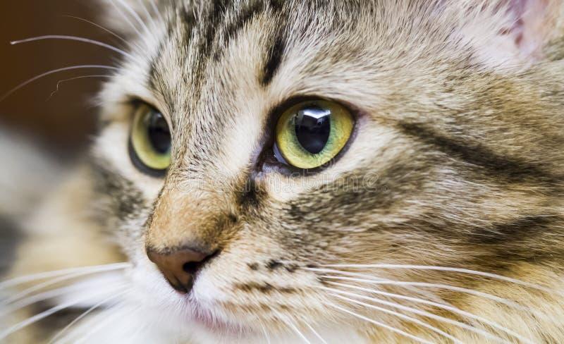 Brown-Katze der sibirischen Zucht im Haus, Kätzchengesicht stockfotos