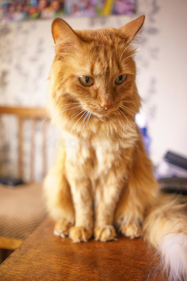 Brown-Katze, rote Tabby Male Cat, Ginger Cat stockbild