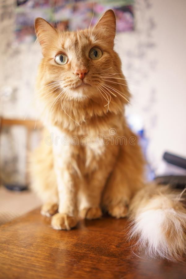 Brown-Katze, rote Tabby Male Cat, Ginger Cat stockbilder