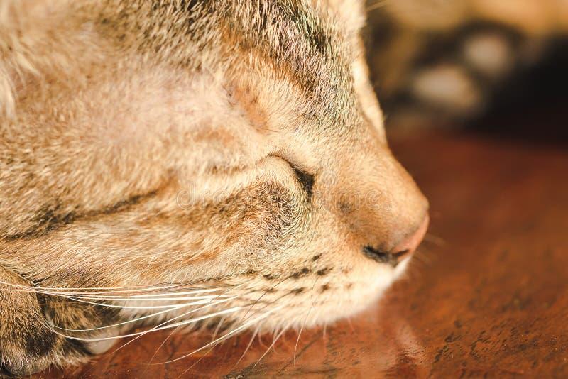 Brown-Katzen schlafen bequem auf dem Bretterboden stockfoto