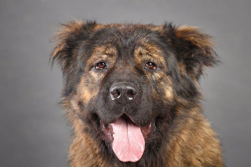 Brown Kaukaski Pasterski pies w studiu fotografia royalty free