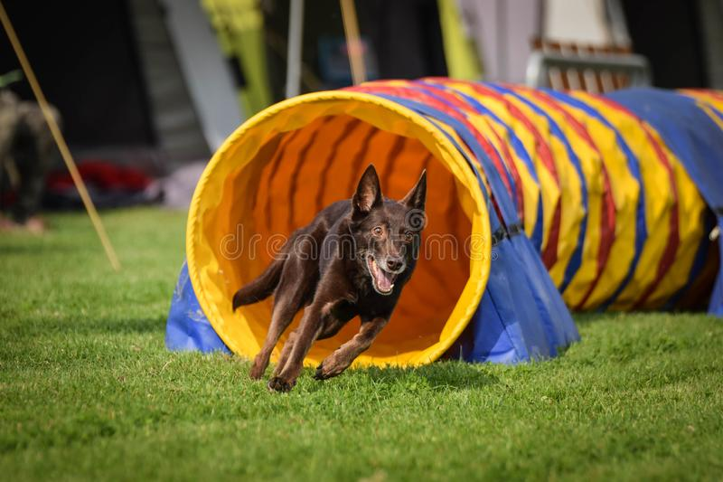 Brown Kelpie in agility tunel on Ratenice competition royalty free stock photos