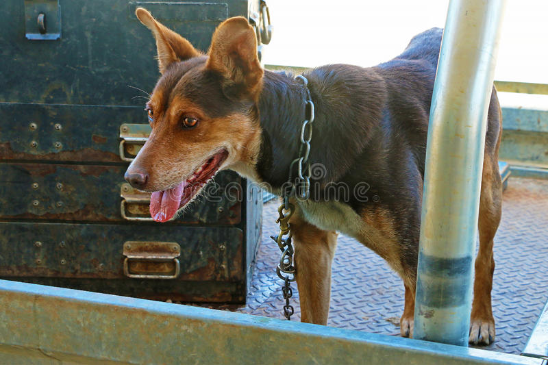 Brown kelpie working dog chained in work ute royalty free stock images