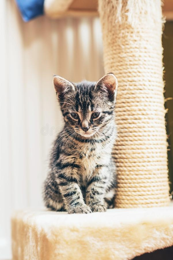 Brown kitten sitting close to the scratching post royalty free stock photo