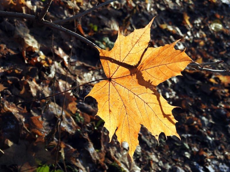 Brown klonowego drzewa liść w jesieni, Lithuania zdjęcie royalty free