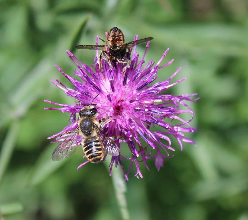 Brown knapweed and bee royalty free stock photo