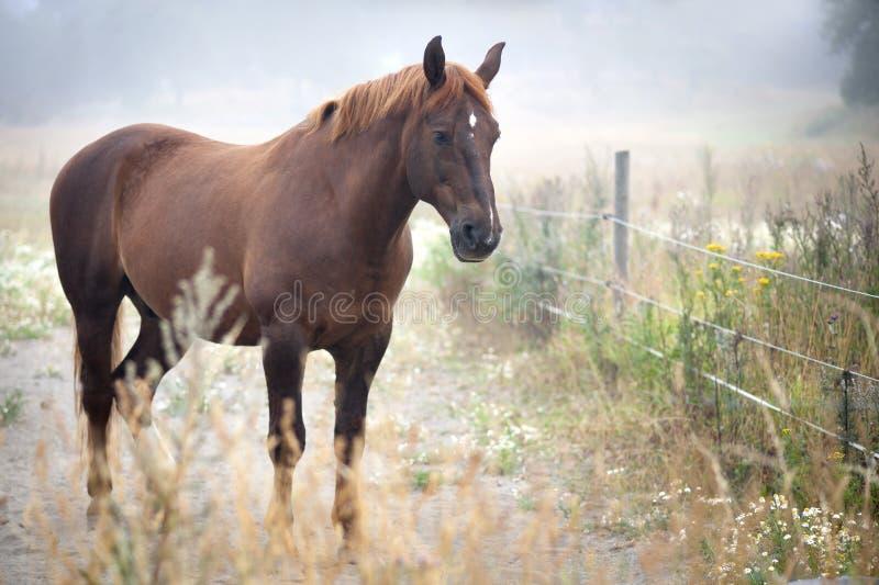Brown koń obraz royalty free