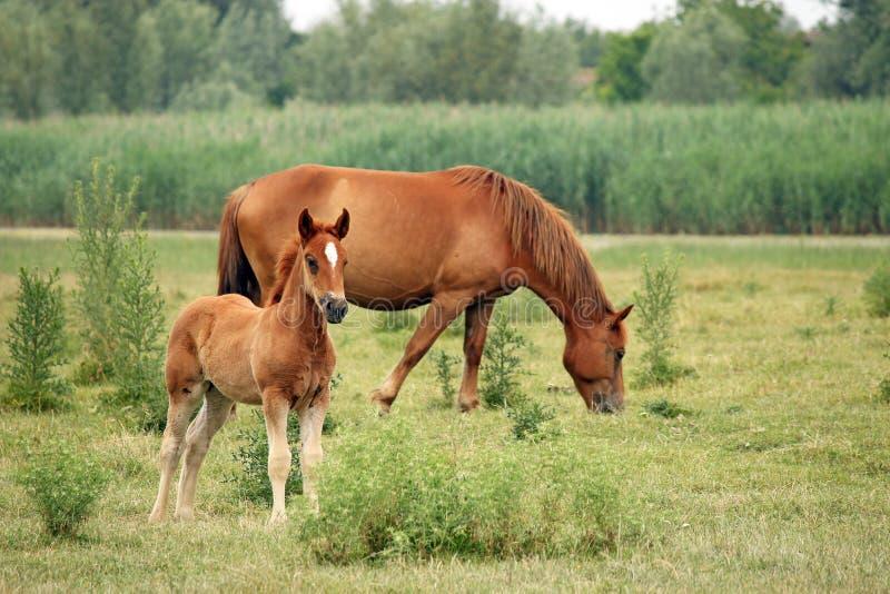 Brown koń i źrebię fotografia stock