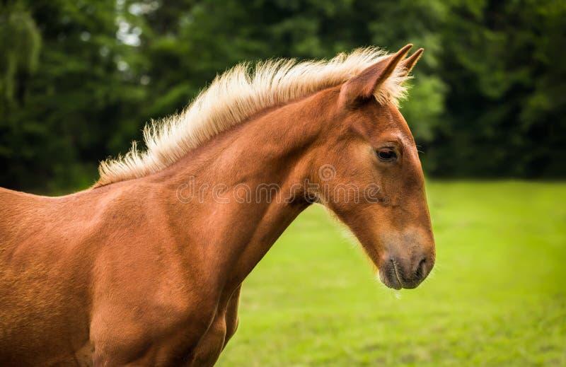 Brown koń w profilu fotografia stock