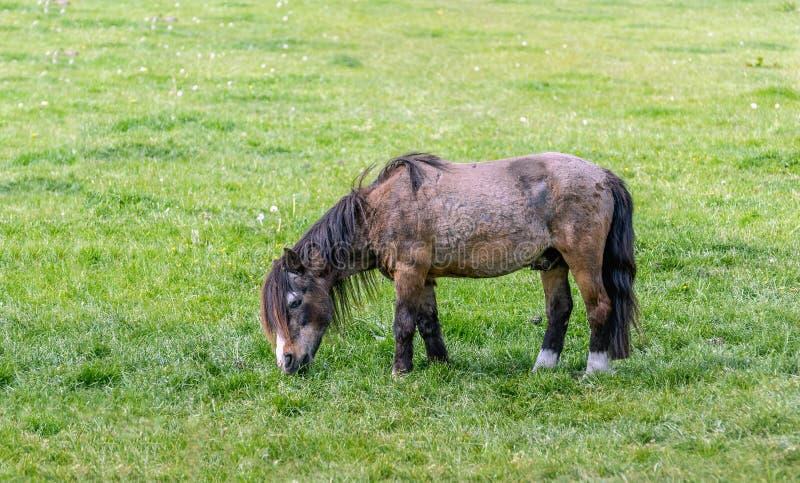 Brown koń z czarną grzywy łasowania trawą obraz stock