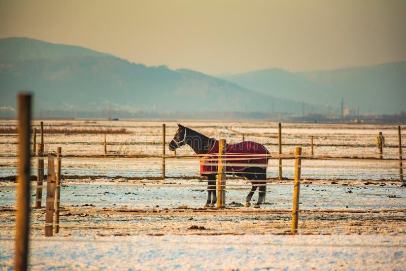 Brown koń zakrywający z koc na śniegu zdjęcie stock