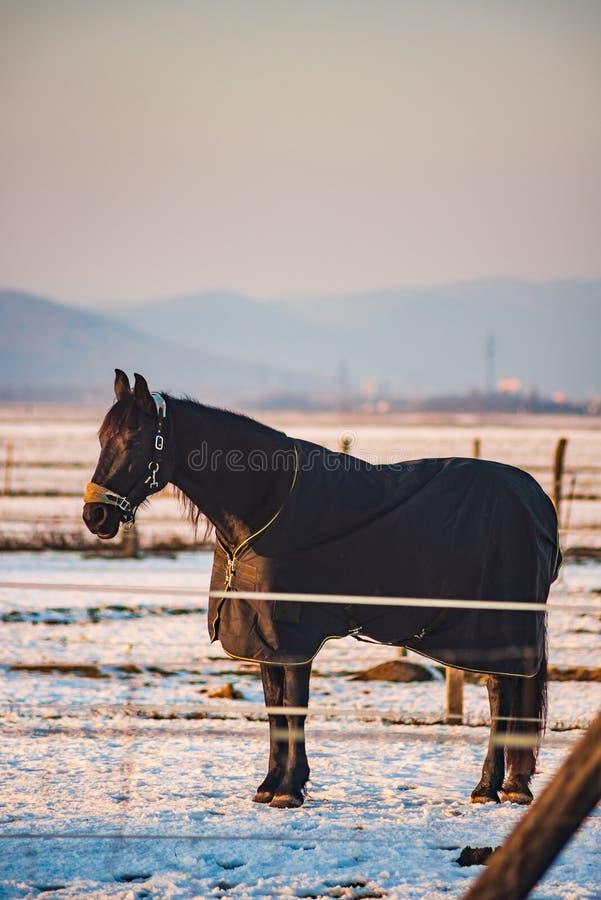 Brown koń zakrywający z koc na śniegu obrazy stock