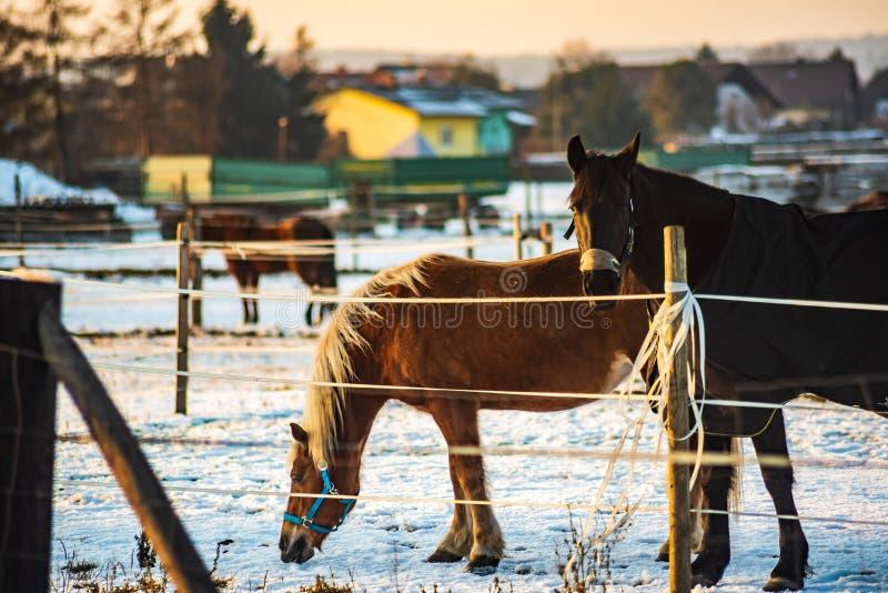 Brown koń zakrywający z koc w zimie obrazy royalty free