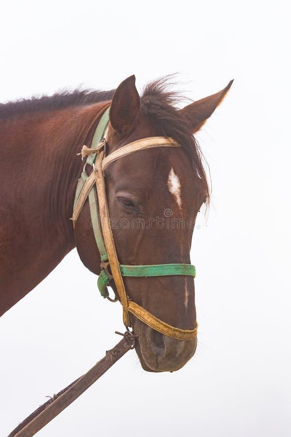 Brown końska głowa w mgle zdjęcie royalty free