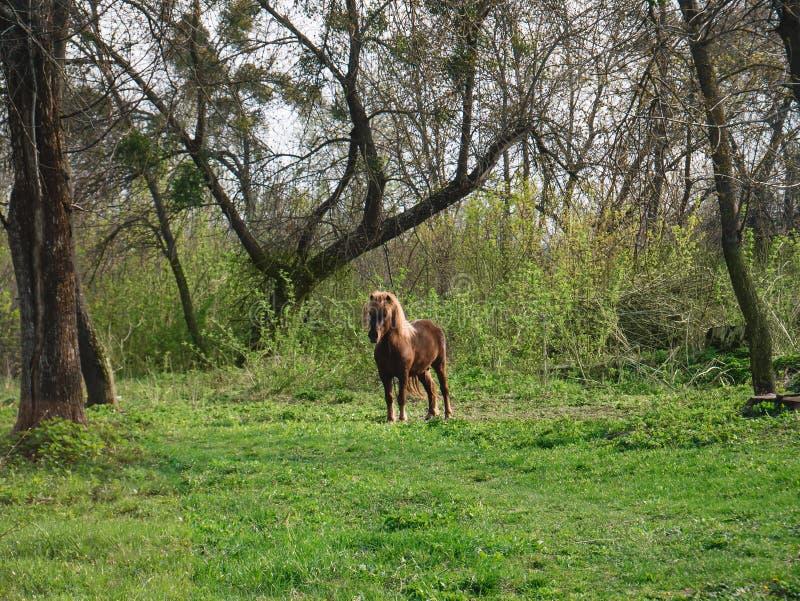 Brown ko?ski pasanie na gazonie b??kitny chmurna ?r?dpolna trawy zieleni ranek nieba wiosna zdjęcie stock