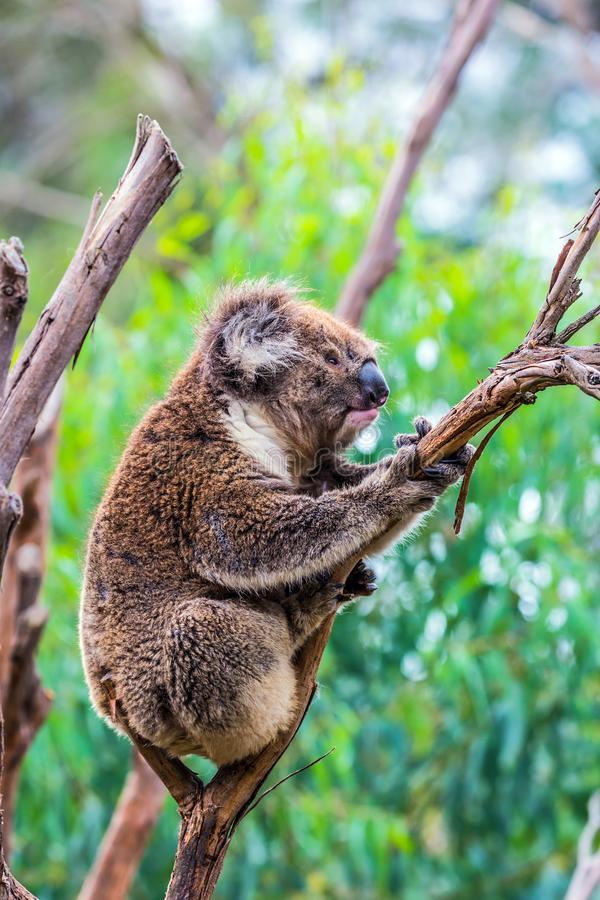 The brown koala or marsupial bear royalty free stock photography