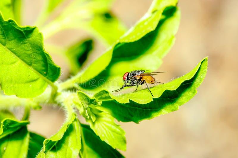 Brown komarnica na zielonym liściu w ogródzie przy Thailand zdjęcie royalty free
