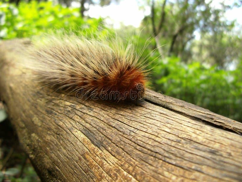 Brown kosmata gąsienica na gałąź w Swaziland obraz royalty free
