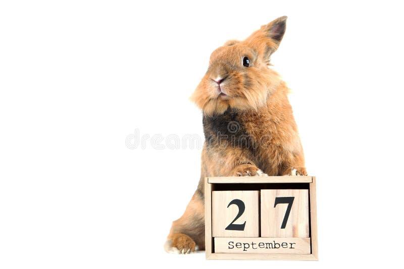 brown królik fotografia stock